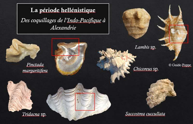 Les coquillages de l'Indo-Pacifique à Alexandrie